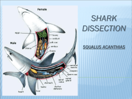 shark dissection squalus acanthias