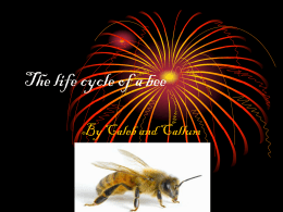 The life cycle of a bee callum and caleb