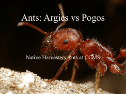Ants: Argies vs Pogos - University of California, Los Angeles