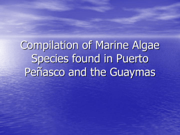 Compilation of Marine Algae Species found in Puerto Peñasco and