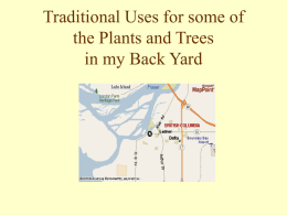 Traditional Uses for the Plants and Trees in my Back Yard