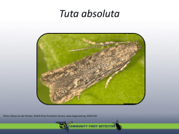 Tomato Leafminer - University of Florida Entomology and