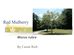 Red Mulberry - Community informatics