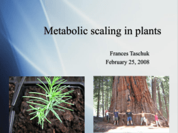 Metabolic scaling and plant vasculature