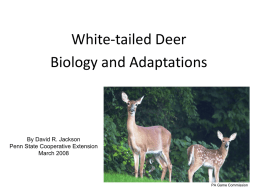 White-tailed Deer Biology and Adaptations PowerPoint presentation
