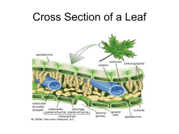STOMATA and LEAF NOTES / PPT