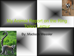 My Animal Report on the Ring Tailed Lemur