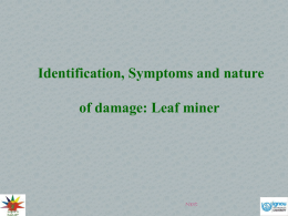 Identification, Symptoms and nature of damage Leaf miner
