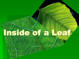 Inside of a Leaf - Brookville Local Schools