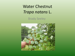 Water Chestnut Trapa natans L.