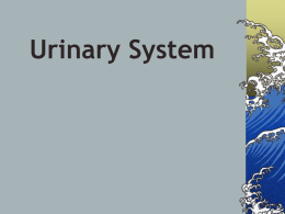 Urinary System - ANATOMY AND PHYSIOLOGY