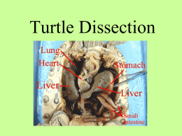 Turtle Dissection PowerPoint