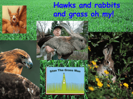 hawk rabbit grass