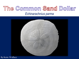 The Common Sand Dollar Powerpoint