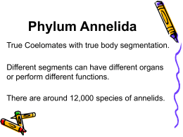 Phylum Annelida - College Heights Secondary