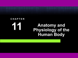 Chapter 11 A & P of the Human Body