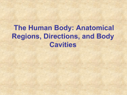 The Human Body: Anatomical Regions, Directions